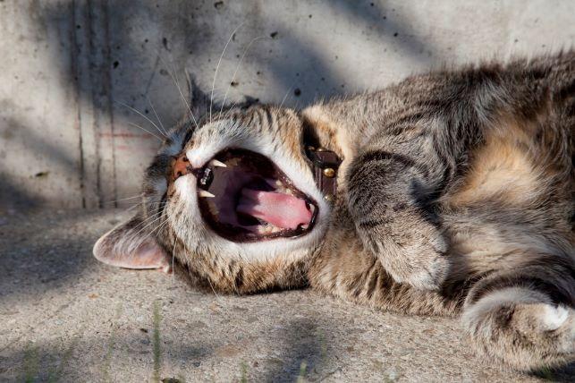 あくびをする猫の画像